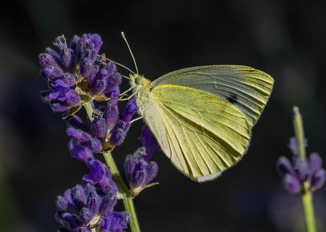 Pieris brassicae (Large white / Mariposa de la col)