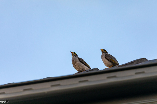Attentive twin Noisy Miners in symmetrical guard pose!