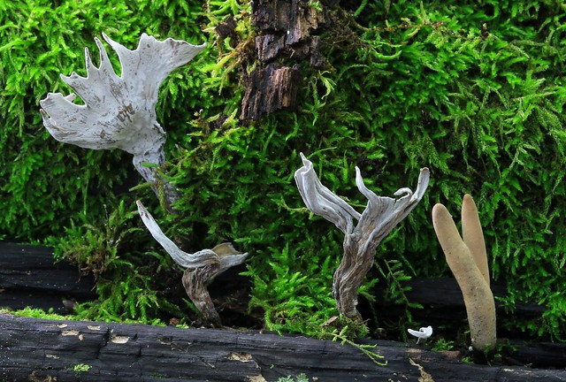 carbon antlers (Xylaria hypoxylon) at Loras Woods WMA IA 653A1185
