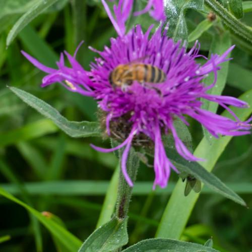 Knapweed with elaborate flower