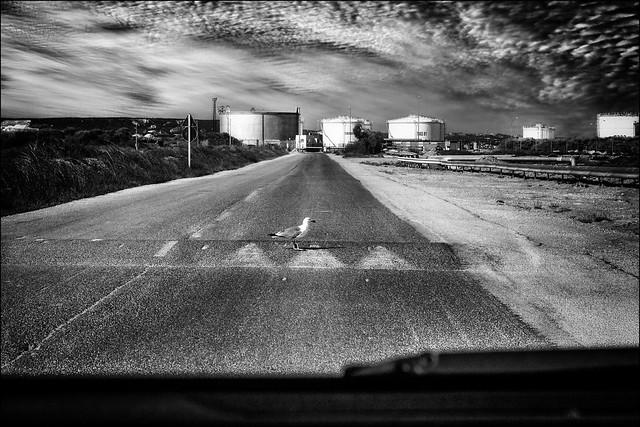 Article 543 du code de la route: Tout véhicule doit s'arrêter  pour laisser traverser les gabians...  / Article 543 of the Highway Code: Any vehicle must stop to allow the gulls crossing ...