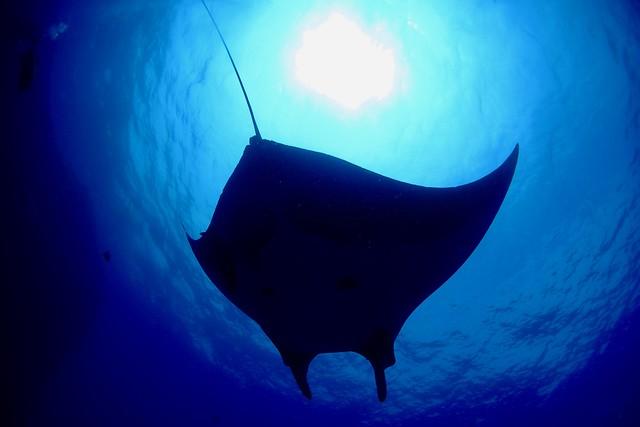 Giant Manta ray / Socorro