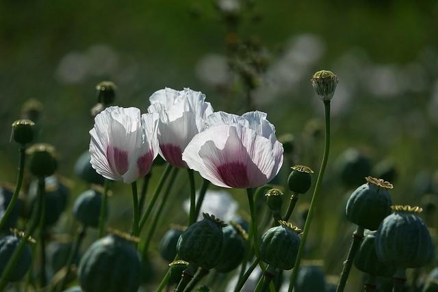 poppy flowers in the light