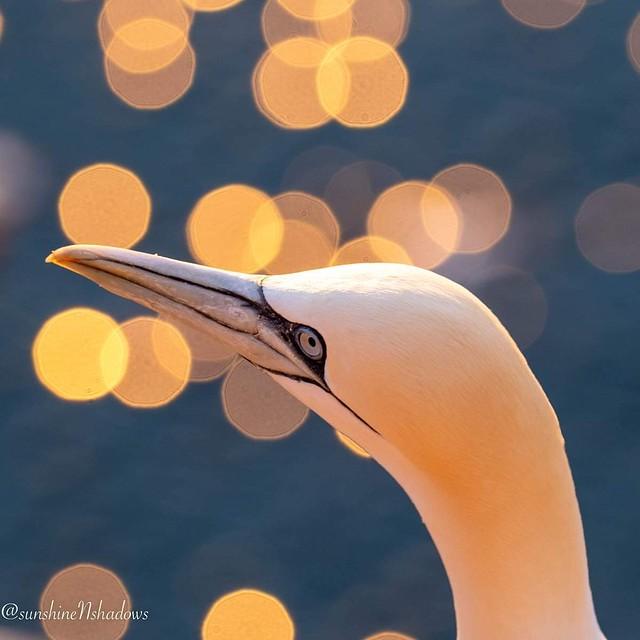 Gannet in sunset light.