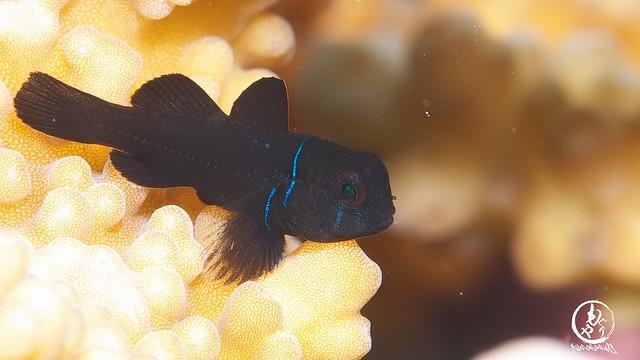 イチモンジ探してたら。。コバンハゼ幼魚ちゃん♪