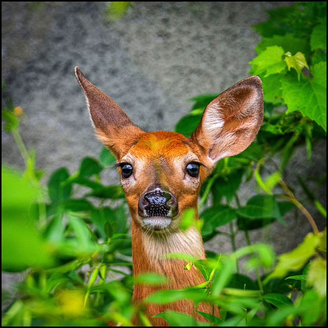 Don Fawn