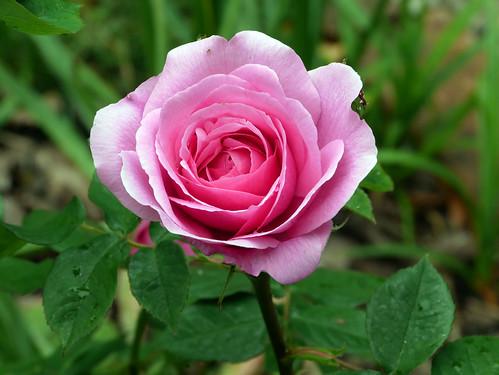 Rosy Delight