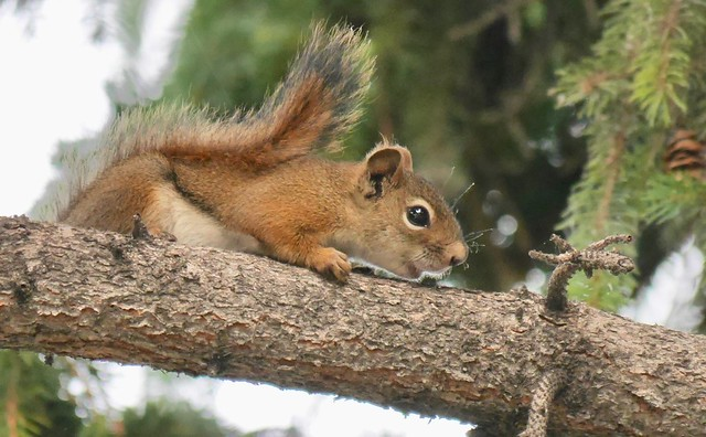 Noisy little Red Squirrel  (Explored)