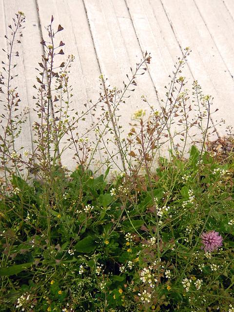 Urban wildflowers, aka scruff by the side of the road