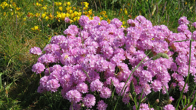 The pink flowers of the Sea Thrift on the cliffs near the South Stack in Anglesey, Wales