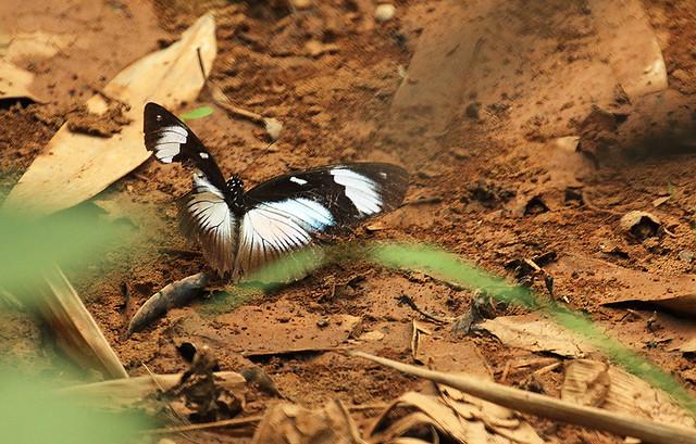 Variable Eggfly, Bobiri Butterfly Sanctuary, Ghana