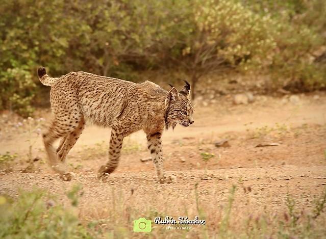 """✅ """" Todo se paralizó """" 🐯Lince Ibérico ( Lynx pardinus ) 📍Peñalajo, Ciudad Real, Castilla La Mancha."""