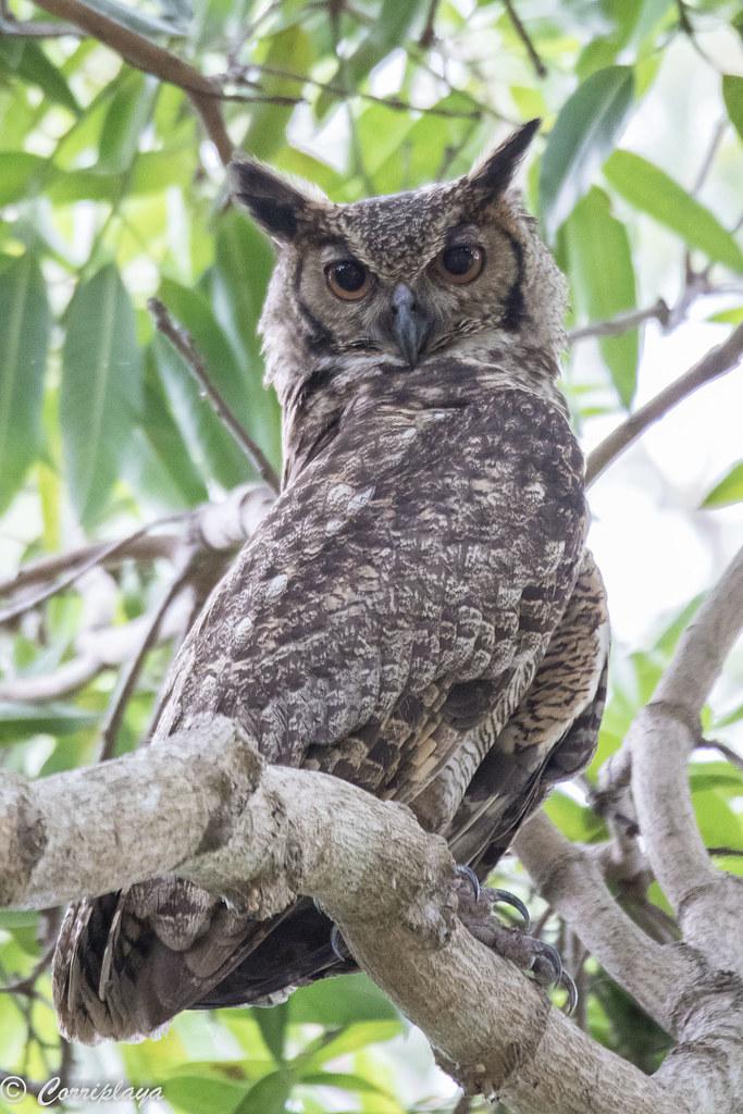 Búho americano, Bubo virginianus, Great Horned Owl
