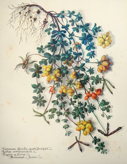 Botanical painting of the yellow wildflower 'Common Bird's-foot Trefoil at the old brickworks near the North Stacks in Anglesey, Wales