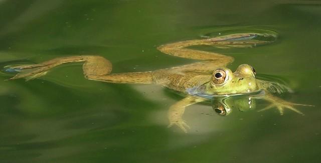 Little American Bullfrog in the garden pond