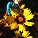 Kid Stuff :: WILD WEST C.O.W.-Boys of MOO MESA .. Mini-figures; Cowlamity Kate iv (( 1999 - 2000 ))