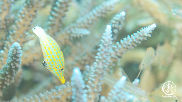 小魚ぐっちゃりの間に目立つ魚。テングカワハギ