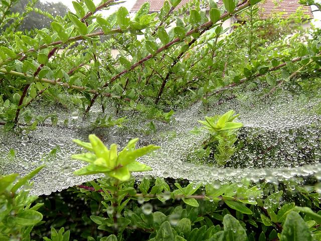 Spiderweb and raindrops