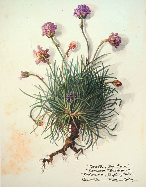 Botanical painting of the pink wildflower SeaThrift, at the old brickworks near the North Stacks in Anglesey, Wales