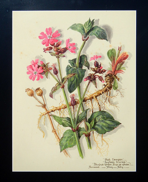 Botanical painting of the pink wildflower Red Campion at the old brickworks near the North Stacks in Anglesey, Wales