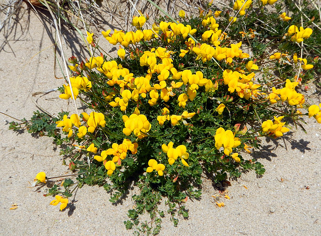 the creeping yellow wildflower 'Common Bird's-foot Trefoil at Rhyl Nature Preserve in northern Wales