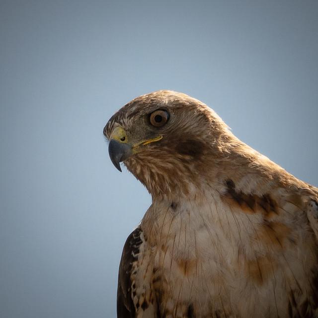 Steve The Hawk