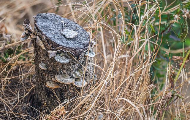 Tree Stump Fungi