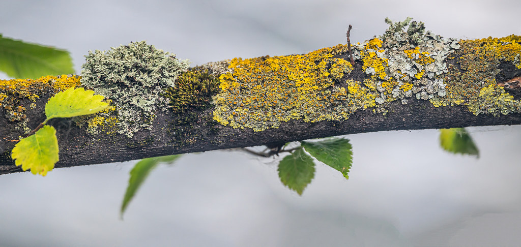 Tree Branch Lichen,Fungi & Moss