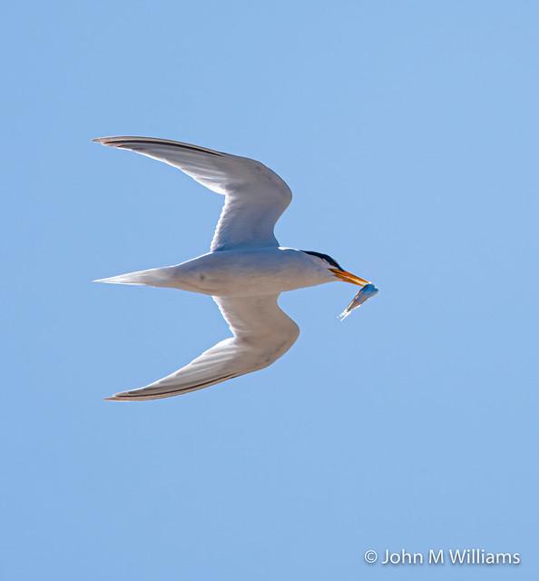 Môrwennol Fach   Little Tern