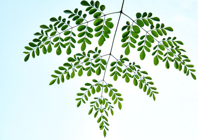Lacey leaves on my Moringa tree - Explored July 18, 2021