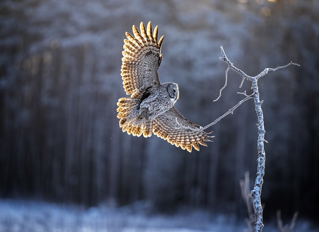 """""""Rise & Shine"""". I am excited and honored to have this photo awarded in Audubon Top 100 in this years contest…"""