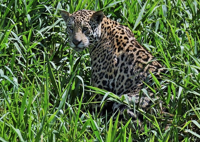 Jaguar Looking Into The Distance (Panthera Onca )