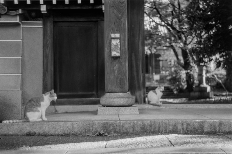 21 20210717Leica Ⅲf+Jupiter8+Fujifilm ACROS南池袋三丁目法明寺の猫 茶白×2