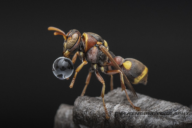 Wasp Blowing Bubble