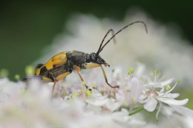 Black And Yellow Longhorn Beetle - Rutpela maculata