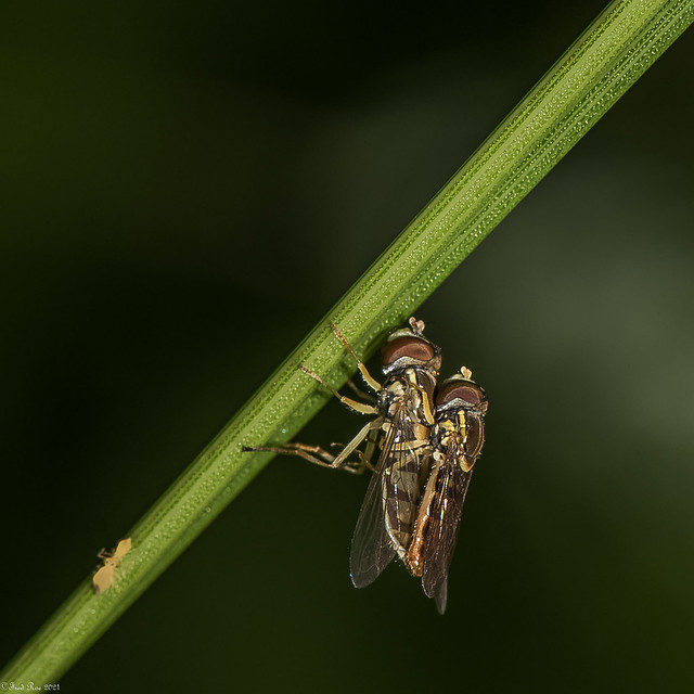 Hoverfly love