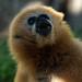 "<p><a href=""https://www.flickr.com/people/154721682@N04/"">Joseph Deems</a> posted a photo:</p>  <p><a href=""https://www.flickr.com/photos/154721682@N04/51315945121/"" title=""Gibbon (female)""><img src=""https://live.staticflickr.com/65535/51315945121_7cd9b76bbe_m.jpg"" width=""240"" height=""213"" alt=""Gibbon (female)"" /></a></p>  <p>Fort Worth Zoo</p>"