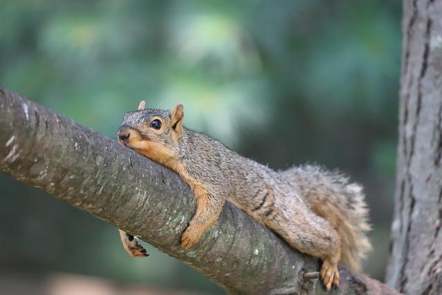 Backyard Red & Fox Squirrels (Ypsilanti, Michigan) - July, 2021