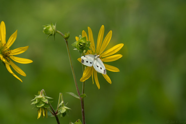 Cabbage White Butterfly Yearning