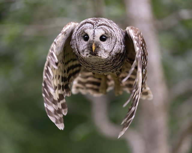 Barred Owl Flyby