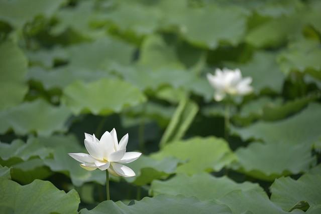加賀れんこんの花