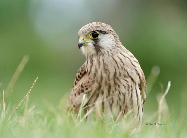 Kestrel (and a comment on Flickr problems in description)
