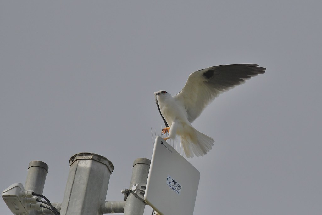 Black-shouldered Kite ( What ? Spikes )