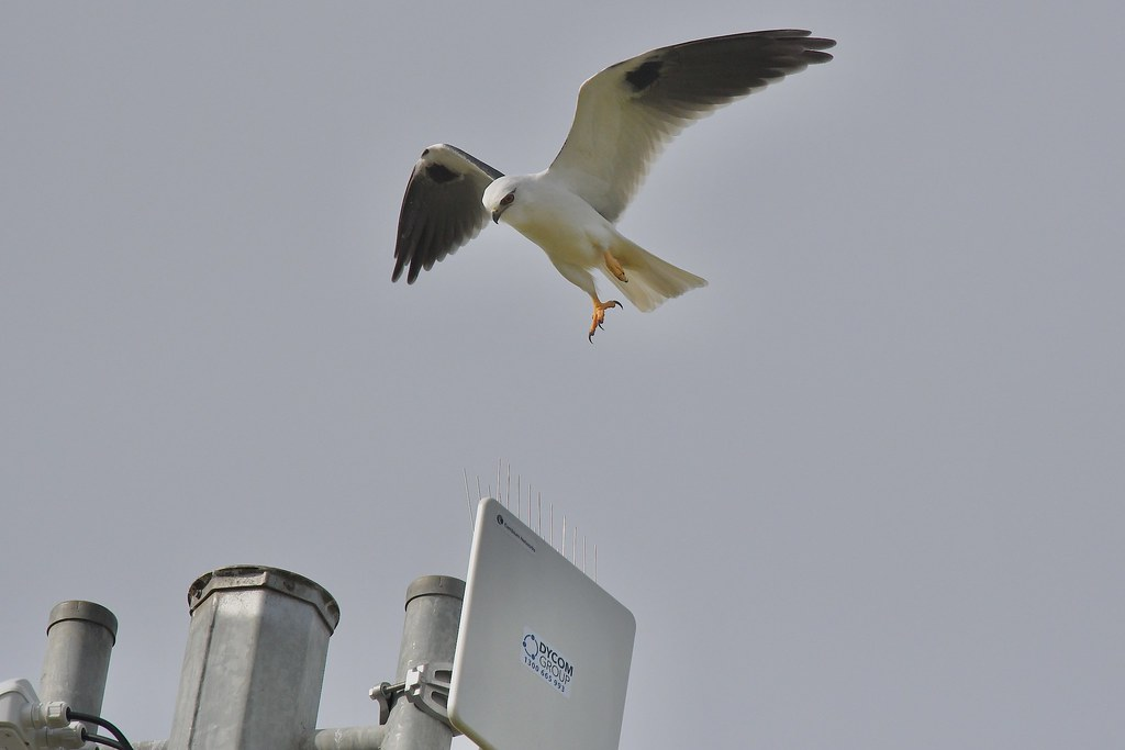 Black -shouldered Kite ( watch out )