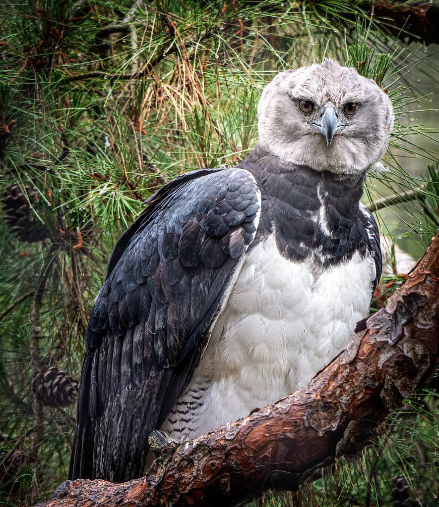 Rainy Day Eagle
