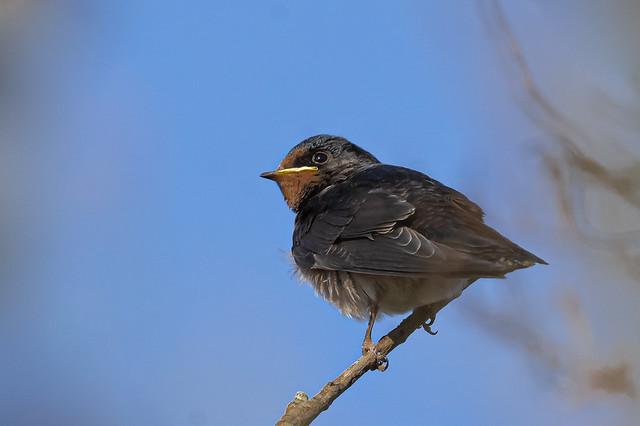 Oreneta comuna - Golondrina comun - Barn swallow - Hirondelle rustique - Hirundo rustica