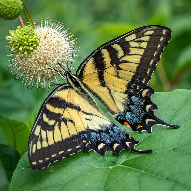 Feasting Butterfly