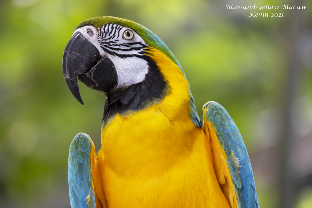 Blue-and-yellow Macaw 30.3 MB