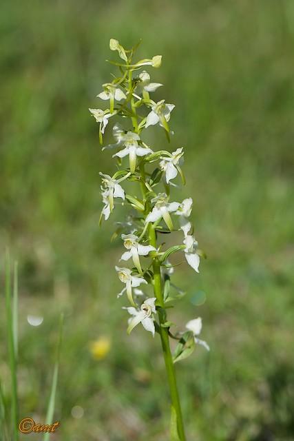 Platanthera chlorantha.