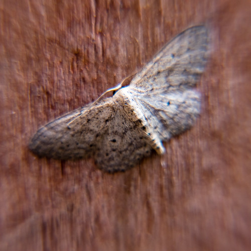 Small dusty wave moth